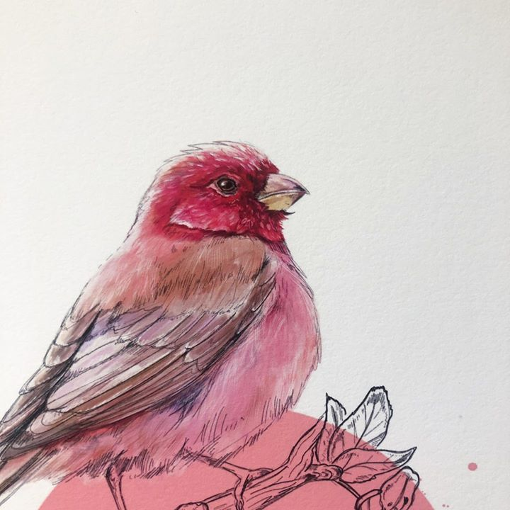 picture of Bird-Beak-American rosefinches-Finch-Drawing-Illustration-Watercolor paint-House finch-Sketch-1413641405463674
